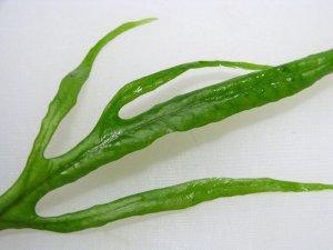 画像2: ミクロソリウムsp.カプアスナロー